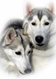 Вовк та вовчиця